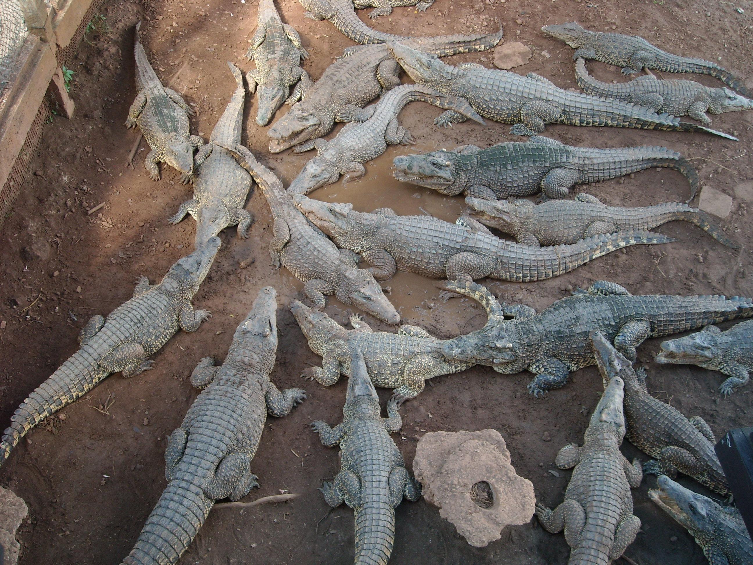Coccodrilli - Parco Guamà