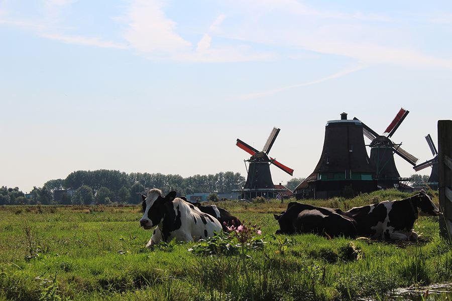 mucche a Zaanse Schans